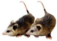 Oppossums
