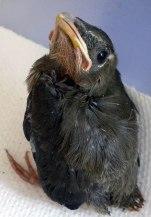 grey_babybird